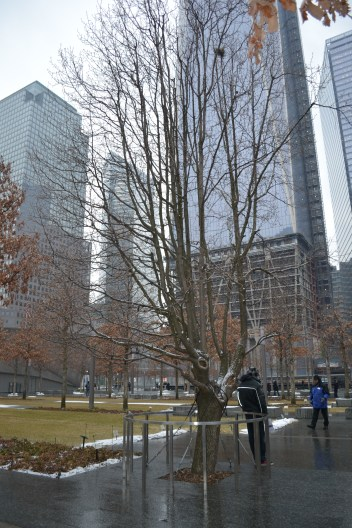 ny_911_memorial_surviver_tree